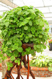 Potted plant. Close up of potted plant Royalty Free Stock Image