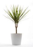 Potted Plant - Draecaena Royalty Free Stock Image