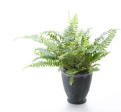 Potted Plant - Fern Stock Photo