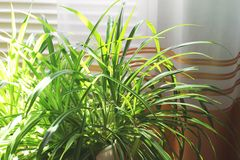 Potted plant in the house.  royalty free stock photography