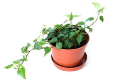 Potted plant isolated on white Stock Images