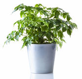 Potted plant isolated. On white Royalty Free Stock Image