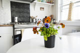 Potted plant on kitchen table in country kitchen Royalty Free Stock Photography