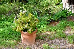 Potted Plant in Lush Garden. During the Height of Summer Royalty Free Stock Image