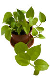 Potted plant. Potted plant in a pot on a white background Royalty Free Stock Image