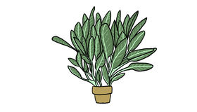 Potted plant sage illustration. Potted plant sage on white background, illustration Royalty Free Stock Photos