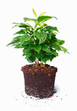 Potted Plant Showing Roots Stock Image