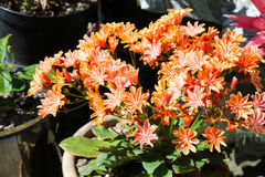 Potted plant in UK garden lewisia. With orange flowers royalty free stock photos