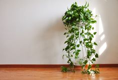 A potted plant on the wooden floor with white wall background.  royalty free stock images