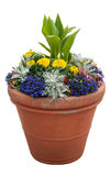 Potted Plants. Colourful plants in a Grungy Terracotta Pot Royalty Free Stock Photos
