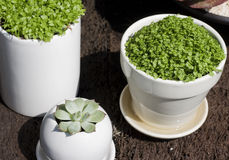 Potted plants. Here are some miniture potted plants. They are potted in white ceramic pots. The plants are seedling like plants and there's a succulent plant too stock images