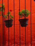 Potted plants in bright background. Potted plants in front of a window with iron bars.  Bright orange background. Monasterio de Santa Catalina.  Arequipa.  Peru Royalty Free Stock Photo