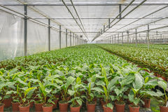 Potted plants in a greenhouse horticulture business in the Nethe Stock Photo