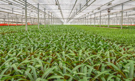 Potted plants in a greenhouse horticulture business in the Nethe Royalty Free Stock Image