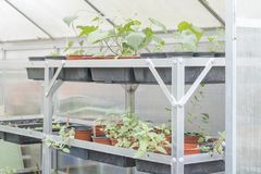 Potted plants growing in a greenhouse. Ready for planting in the garden Royalty Free Stock Photography