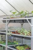 Potted plants growing in a greenhouse. Ready for planting in the garden Stock Image