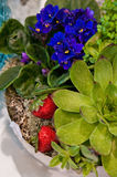 Potted plants with strawberry composition. Flower shop florist potted plants arrangement - colorful flowers and succulent with red strawberries accent Stock Photos