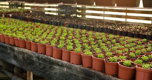 Potted plants on table in greenhouse stock video footage