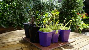 Potted plants on the table in sunlit backyard patio.  Royalty Free Stock Photo