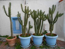 potted potted cacti Stock Photos
