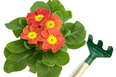 Potted primrose stock images