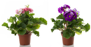цветок цветет potted primula Стоковые Фотографии RF