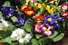 Potted Primula flowers. Close up of colorful Primula flowers in pots Stock Photos