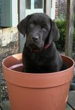 Potted Puppy stock photo