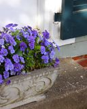 Potted Purple Pansies Brighten Entranceway. Purple pansies in early spring planted in a concrete horizontal pot help to brighten up a top step by a front door of royalty free stock photography