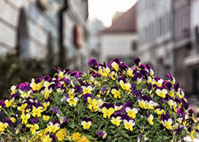 Potted purple and yellow viola flowers - seasonal street decorat Royalty Free Stock Photography