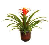Potted Red Guzmania Bromeliad  isolated on White Stock Photos