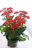 Potted red kolanhoe flowers Royalty Free Stock Photos