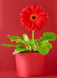 Potted red pgerbera Royalty Free Stock Photography