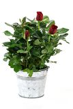 Potted red rose Royalty Free Stock Image