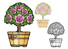 Potted rose bush Stock Photo