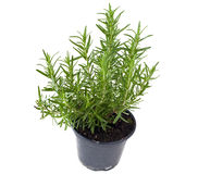 Potted rosemary Royalty Free Stock Image