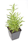 Potted Rosemary Stock Images