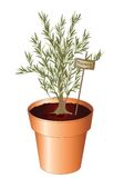 Potted rosemary Royalty Free Stock Images