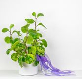 A Potted Rubber Plant Stock Images