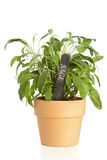 Potted sage plant with name tag Royalty Free Stock Photo