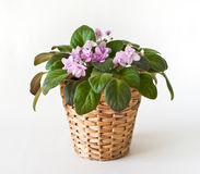Potted Saintpaulia Royalty Free Stock Photos