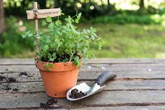 Potted salad burnet Sanguisorba minor with a wooden plant mark. Er and a planting shovel on a rustic wooden table in the garden, copy space, selected focus Royalty Free Stock Photography