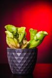 Potted Sarracenia purpurea Royalty Free Stock Photos