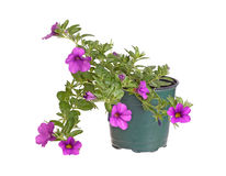 Potted seedling of a Calibrachoa isolated against white Stock Photo
