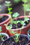 Potted Seedlings. A close up view of Italian flat leaf parsley seedlings in pots Royalty Free Stock Photography