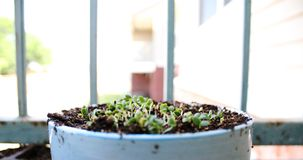 Potted seedlings. Breaking through soil on a balcony Royalty Free Stock Images