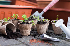 Potted seedlings growing in biodegradable peat moss pots from above. Seedling in fiber pots stock photos