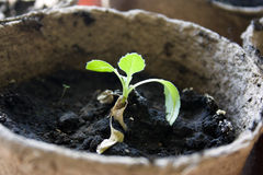 Potted seedlings growing in biodegradable pots. Potted seedlings growing in biodegradable peat moss pots Stock Image