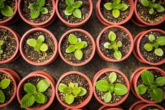 Potted seedlings growing in little brown pots arrange in top vie. W for save the wolrd concept Royalty Free Stock Image