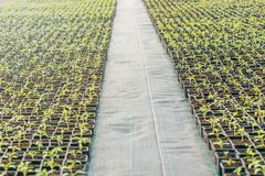 Potted seedlings growing in a plant nursery. Greenhouse food production royalty free stock photo